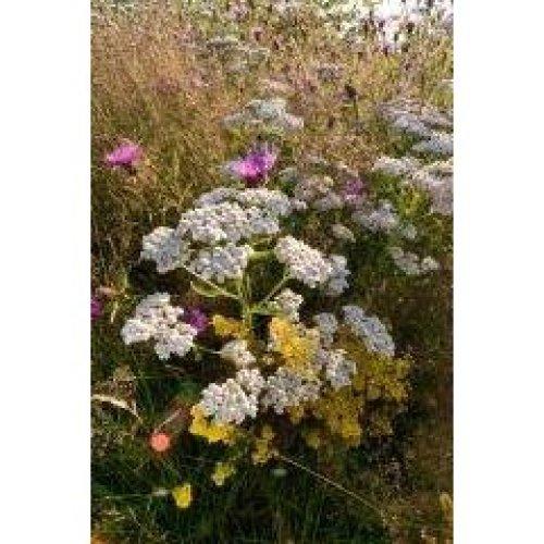 Wild Flower - Yarrow - Achillea Millefolium - 6000 Seeds