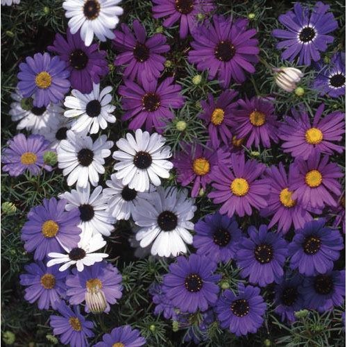 Flower - Brachyscome - Bravo Mixed - 100 Seeds