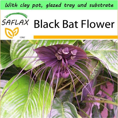 SAFLAX Garden to Go - Black Bat Flower - Tacca - 10 seeds