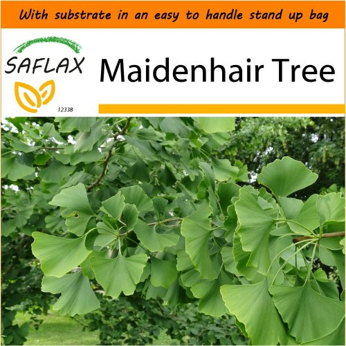 SAFLAX Garden in the Bag - Maidenhair Tree - Ginkgo - 4 seeds