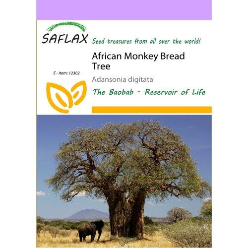 Saflax  - African Monkey Bread Tree - Adansonia Digitata - 6 Seeds