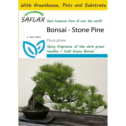 Saflax Potting Set - Bonsai - Stone Pine - Pinus Pinea - 6 Seeds - with Mini Greenhouse, Potting Substrate and 2 Pots