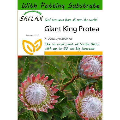 Saflax  - Giant King Protea - Protea Cynaroides - 5 Seeds - with Potting Substrate for Better Cultivation