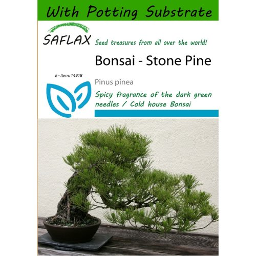 Saflax  - Bonsai - Stone Pine - Pinus Pinea - 6 Seeds - with Potting Substrate for Better Cultivation