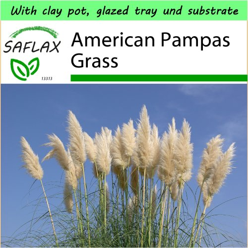 SAFLAX Garden to Go - American Pampas Grass - Cortaderia selloana - 200 seeds - With clay pot, glazed tray, substrate and fertilizer